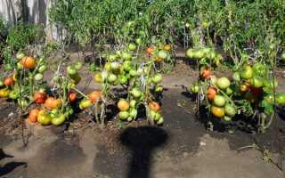 Помидоры по маслову. Посадка и выращивание помидоров по методу И.М. Маслова