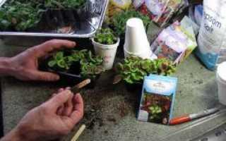 Колеус как прищипывать. Выращивание колеусов: размножение, посадка и уход