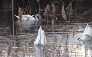Что едят лебеди в природе. Чем кормить лебедей?