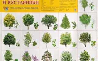 Породы деревьев фото с названиями. Виды и названия деревьев России и Москвы