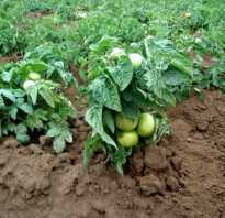 Томат клуша отзывы фото. Характеристика сорта помидора Клуша: отзывы и фото
