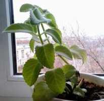 Мята в горшке на подоконнике зимой. Как вырастить мяту дома на подоконнике: растим мяту в горшке круглый год.