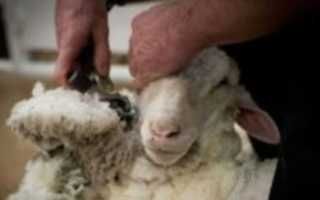 Когда стригут овец. Стрижка овец