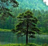 Сколько лет живут деревья таблица. Продолжительность жизни деревьев