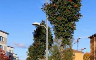 Рябина колоновидная фото. Рябина обыкновенная `Фастигиата`, Sorbus aucuparia `Fastigiata`