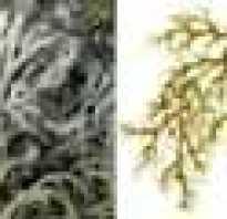 Род лишайников семейства пармелиевых на деревьях. Род лишайников