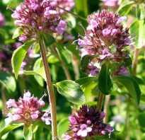 Тимьян сорта и виды фото. Растение Тимьян: фото, виды, лечебные свойства и противопоказания