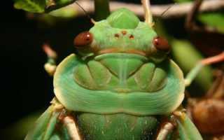 Чем опасны цикады. Певчие цикады