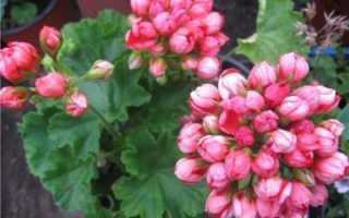 Марбака тюльпан. Удивительно красивая — пеларгония тюльпановидная. Все о происхождении, размножении и уходе
