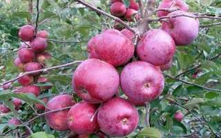 Яблоня флорина фото. Иммунная зимняя яблоня Флорина