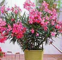 Олеандр садовый уход и выращивание. Олеандр — особенности выращивания в комнатных условиях