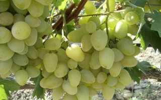 Сорт винограда бажена видео. Сорт винограда Бажена