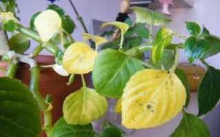 Почему у цветка ванька мокрый опадают листья. Причины желтения и опадания листьев у бальзамина