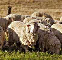 Овцы мериносы это. Кто такие мериносы и где они живут