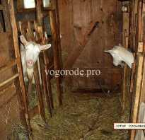 Можно ли давать козе вареный картофель. Кормление коз — чем кормить и что опасно для козы