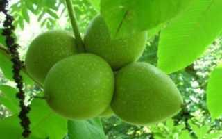 Орех зибольда выращивание. Выращивание орехов сорта Зибольда