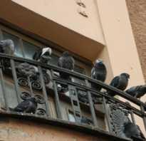 Чего боятся голуби как бороться с голубями. Как прогнать и отпугнуть назойливых голубей, которые поселились на вашем балконе?