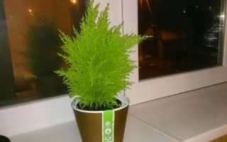 Купрессус голдкрест вилма уход в домашних условиях. Уход и содержание кипариса Голдкрест Вилма