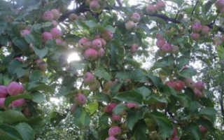 Яблоня колоновидная триумф описание сорта. Описание колоновидной яблони Триумф