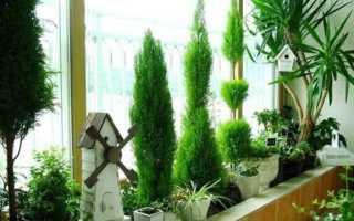 Туя смарагд на балконе. Туя в горшке – выращивание туи на балконе