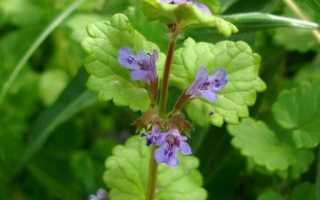 Трава будра фото. Трава будра: описание видов, лечебные свойства и выращивание