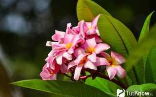 Франжипани цветок в домашних условиях. Франжипани (Плюмерия): выращивание в домашних условиях из семян и черенков