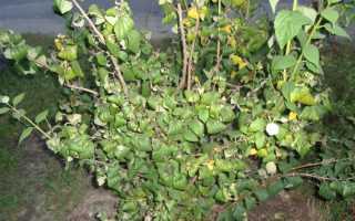 Почему скручиваются листья у жасмина. Подскажите, почему скручиваются листики у чубушника махрового?