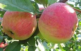 Яблоня медуница посадка и уход фото. Яблоня медуница — посадка и уход, 65 фото примеров в саду!