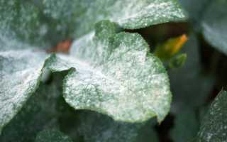 Серебристый налет на листьях. Налет на листьях