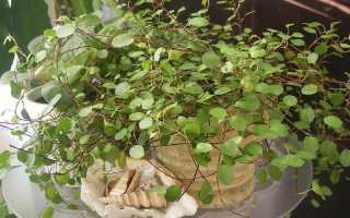Мюленбекия уход в домашних. Мюленбекия – яркая лиана с жемчужными листочками