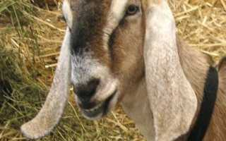 Нубийская коза описание. Отличительные особенности Нубийской породы коз
