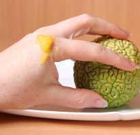 Маклюра как хранить плоды. Адамово яблоко — изучим лечебные свойства