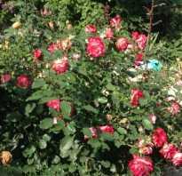 Роза юбилей санкт петербурга энциклопедия роз.