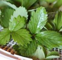 Сбор листьев земляники. Когда собирать листья земляники для чая?
