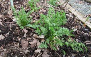 Тмин посадка. Выращивание тмина из семян Посадка и уход в открытом грунте Полезные свойства тмина
