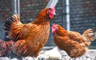 Несется ли курица без петуха. Несутся ли куры без петуха: как он влияет на яйценоскость кур