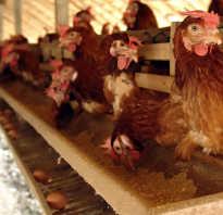 Овес или ячмень для кур. Чем лучше кормить кур зерном или комбикормом