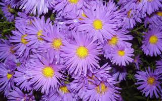 Цветы сентябрины и октябрины. Цветы «Сентябринки»: размножение, посадка и уход + фото