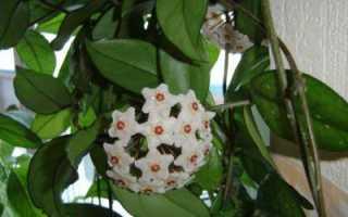 Хойя локки уход в домашних условиях. Популярные виды тропической красавицы хойи: их особенности и фото