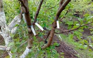 Летняя прививка плодовых. Летняя прививка плодовых деревьев