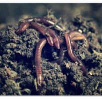 Размножение дождевого червя схема. Как происходит размножение дождевых червей