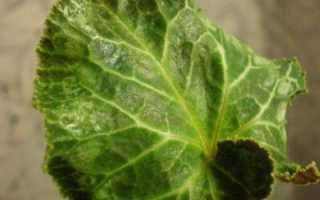 Можно ли цикламен вырастить из листочка. Цикламен размножение листом