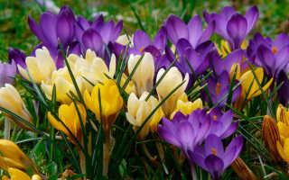 Разновидность крокусов. Весенний цветок крокус: описание сортов и условия для посадки