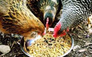 Рацион курицы несушки на день. Кормление кур несушек в домашних условиях: составляем рацион питания