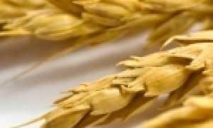 Рожь и пшеница фото колос. Чем отличается пшеница от ржи?