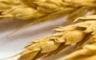Отличие ржи от пшеницы. Чем отличается пшеница от ржи?
