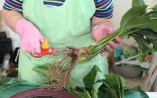 Пересадка спатифиллума во время цветения. Спатифиллум или Женское счастье — как правильно провести пересадку растения?