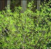 Крушина ольховидная аспленифолия. Крушина ольховидная «Аспленифолия» / Rhamnus frangula «Asplenifolia»