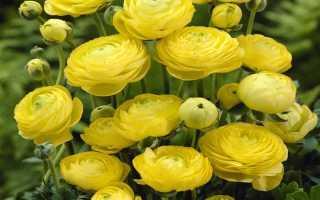 Персидский лютик. Правила и секреты посадки, ухода и выращивания садового лютика