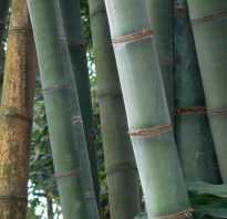 Посадка бамбука в домашних условиях. Как выращивать бамбук в домашних условиях, посадка и уход за комнатным бамбуком